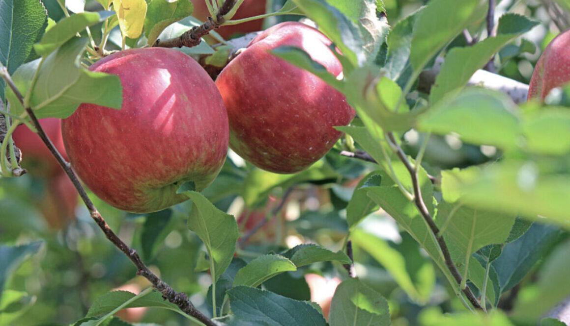 apple-2720105-bred2000-lysere