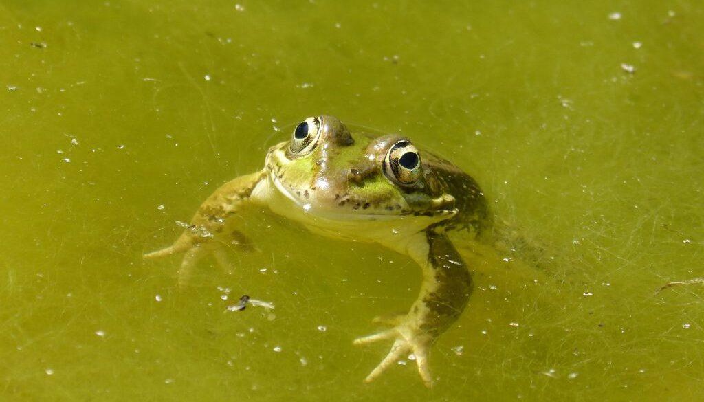 frog-2395304-bred2000